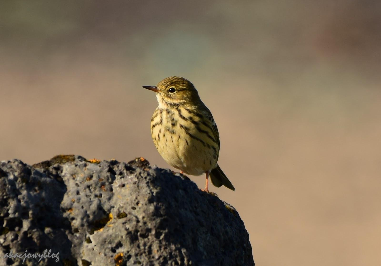 Ptaki Islandii - część 1.