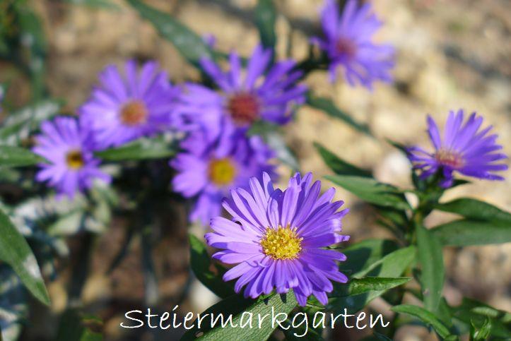 Herbstastern-Steiermarkgarten