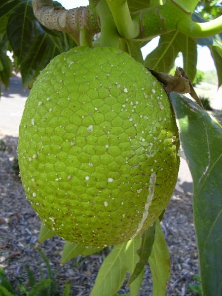 Breadfruit Fruitfacts