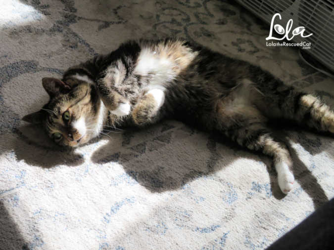 tabby cat in a sun puddle