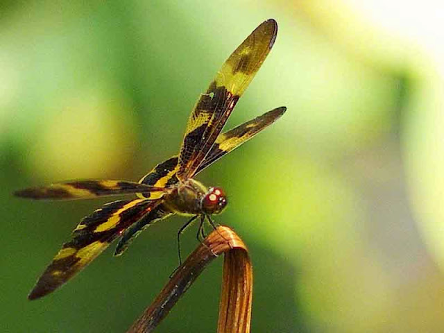 black and gold dragonfly, wings spread