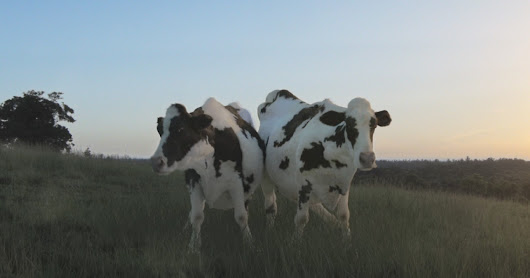 Full Frame 'Dancing Cows'