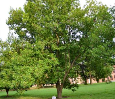 full grown rudraksha tree