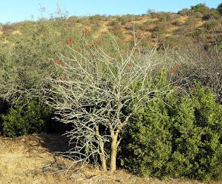 Fouquieria diguetii, Adam's Tree