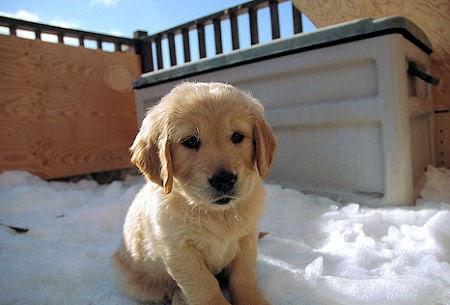 Cute golden retriever puppies playing funny animal - Cute golden retriever wallpaper ...