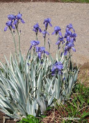 variegated European iris