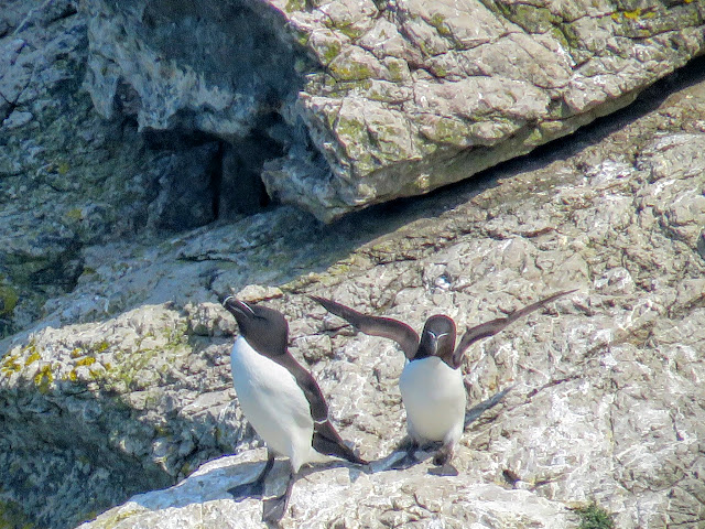 Day trip to Ireland's Eye Island - razorbills on a rock