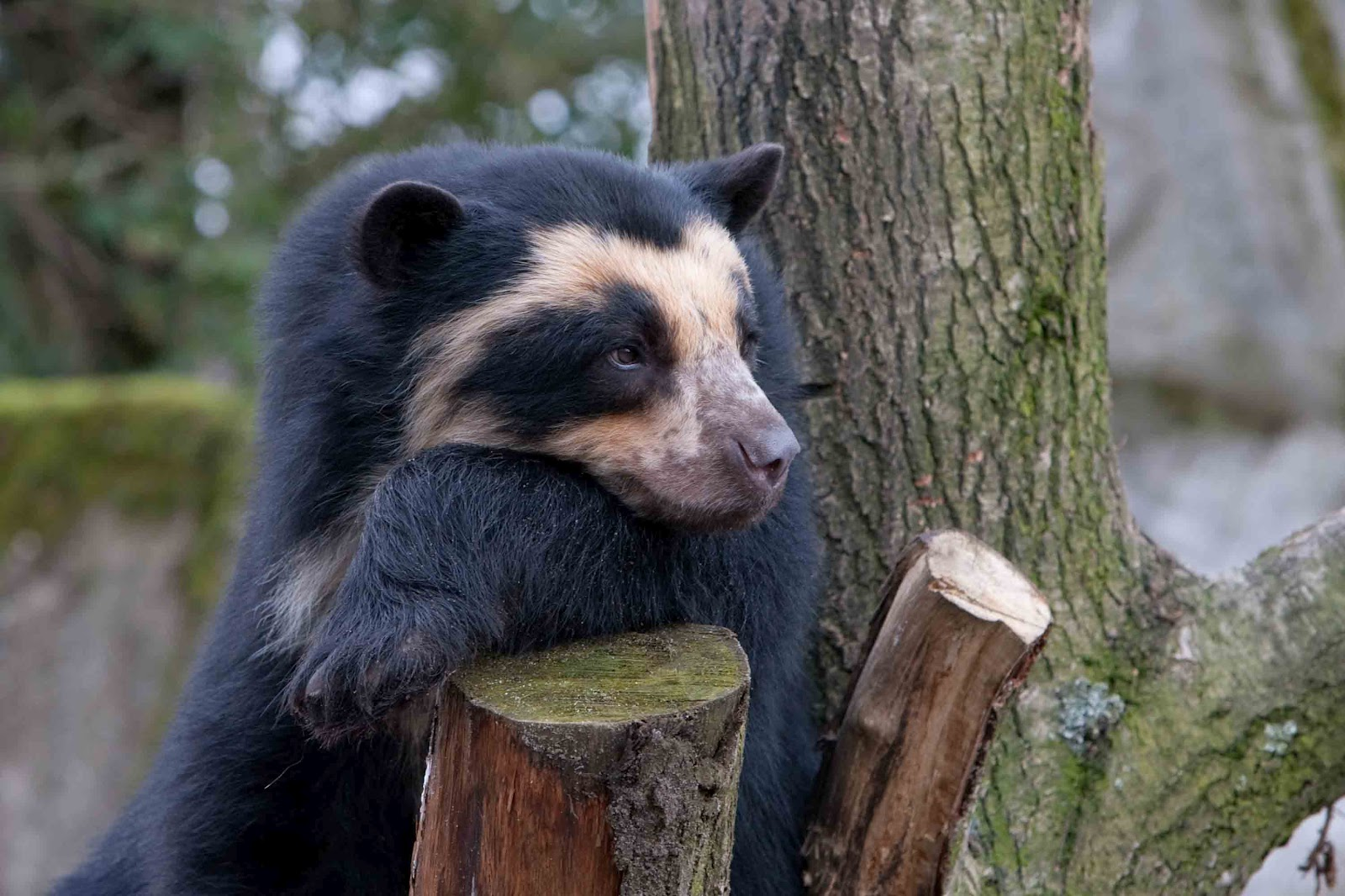 Spectacled Bear | The Biggest Animals Kingdom