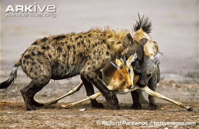 Hyaenas and Impala