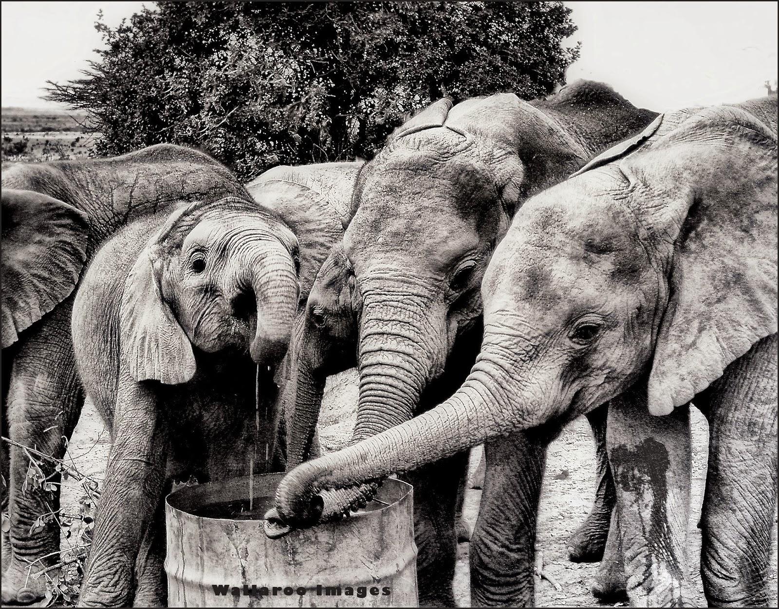 o pijanych słoniach bojowych