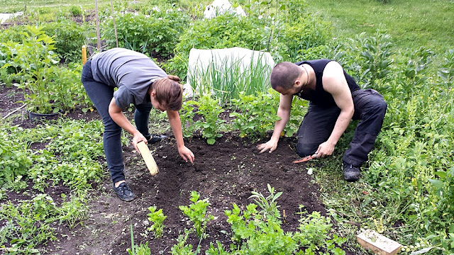 Urban farming project in Oslo: turning the soil with spade and wooden bricks