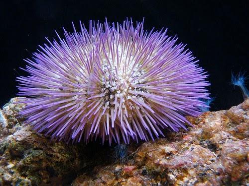 9300 Koleksi Gambar Hewan Filum Echinodermata HD Terbaik