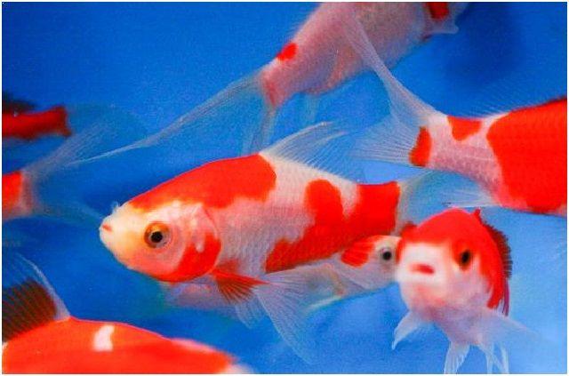 Gambar Ikan Hias Cantik – Ikan Komet