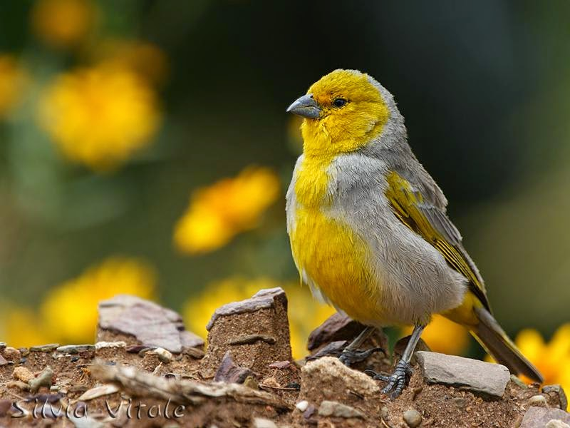 Citron headed Yellow finch