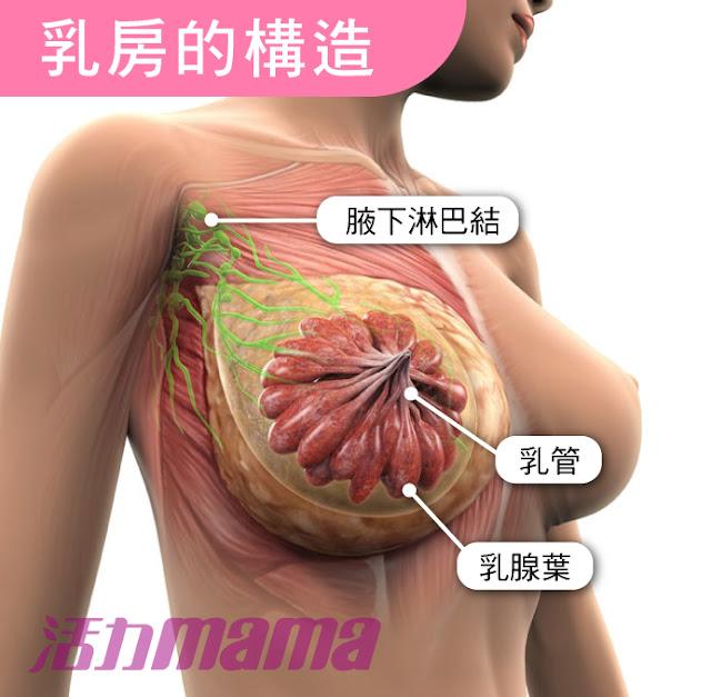 腋下硬塊,了解乳房構造