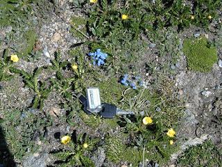 Eritrichum aretioides, Tundra Communities, Rocky Mountain National Park