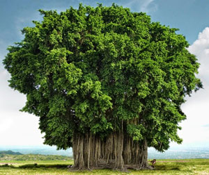 Pohon beringin tanaman peneduh