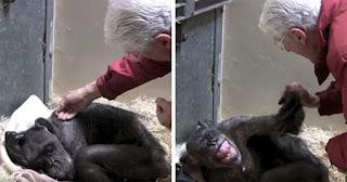 59χρονος ετοιμοθάνατος χιμπατζής αρνείται φαγητό αλλά μετά αναγνωρίζει τον άντρα που τον φρόντιζε