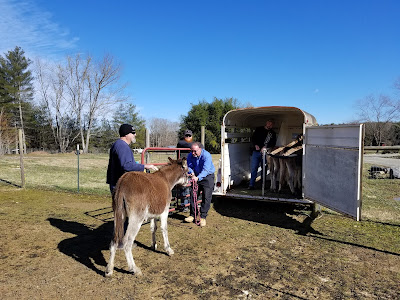 Donkey being loaded on trailer