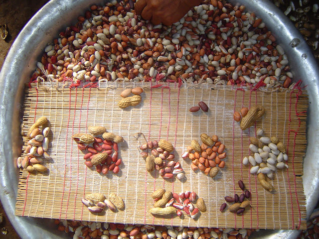 New genome map sheds light on ancestry, diversity of today's peanuts