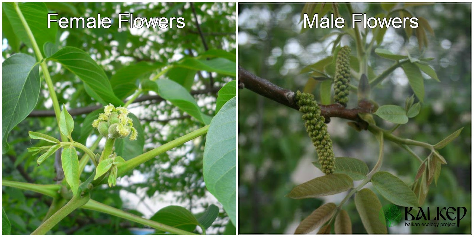 Why You Should Grow Walnuts (Juglans regia) | Permaculture