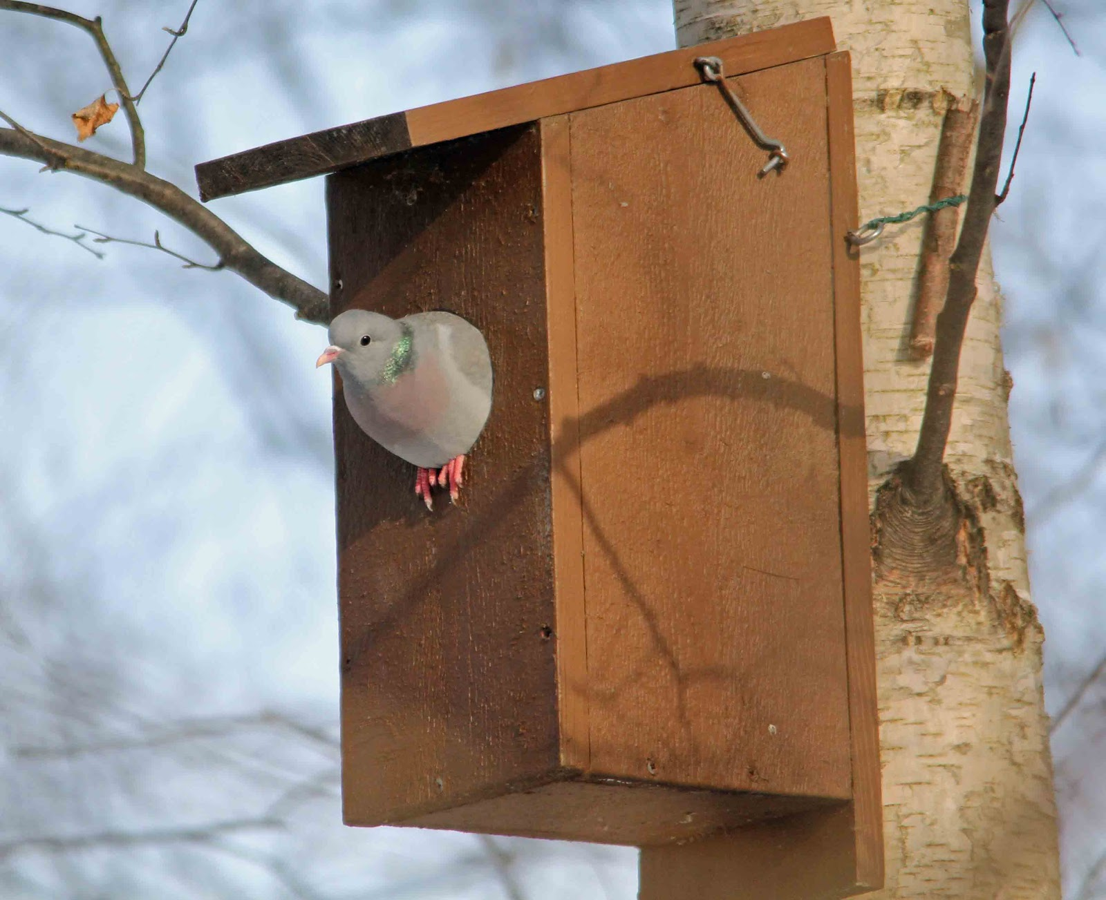 Mourning Dove Nest Boxes - Bing images