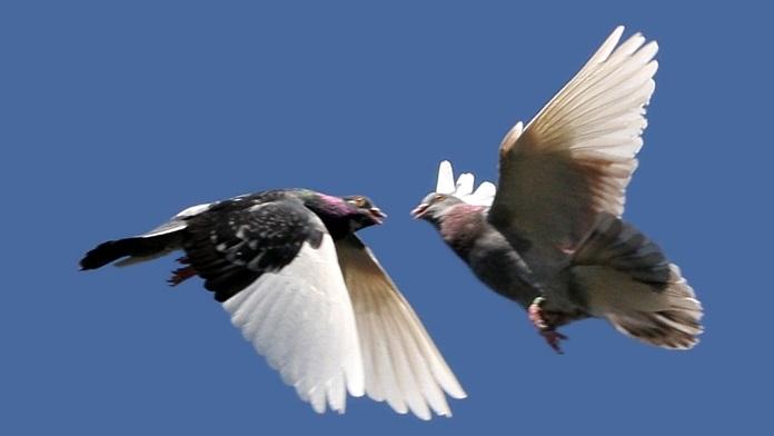 Il buon cuore dei colombi - Anonimo