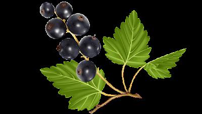 gambar clipart buah blueberry