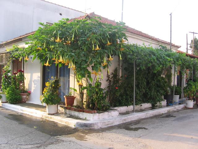 Angyaltrombita (Datura) a házikó oldalában