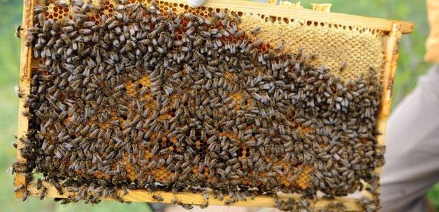 Τα αδύνατα μελίσσια μπορούν να γίνουν δυνατά και να βγάλουν μέλι; Πως αναπτύσσονται γρήγορα;