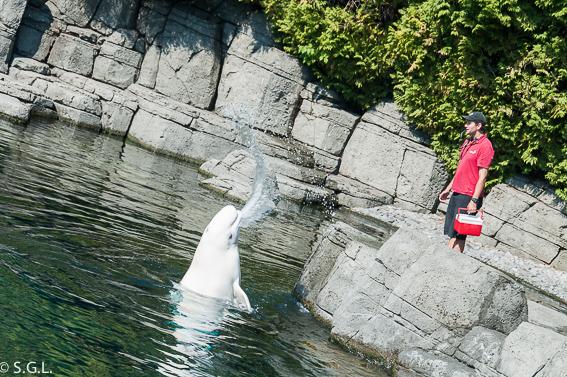 Espectaculo Beluga en el acuario de Vancouver