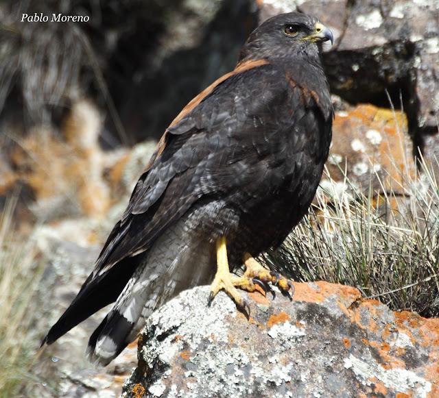 """alt=""""aguilucho comun,aves de Mendoza,Geranoaetus polyosoma,rapaz de Mendoza"""""""