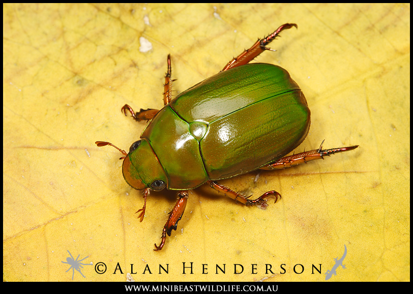 Australian Christmas Beetle.Minibeast Wildlife Rainforest Encounters Christmas