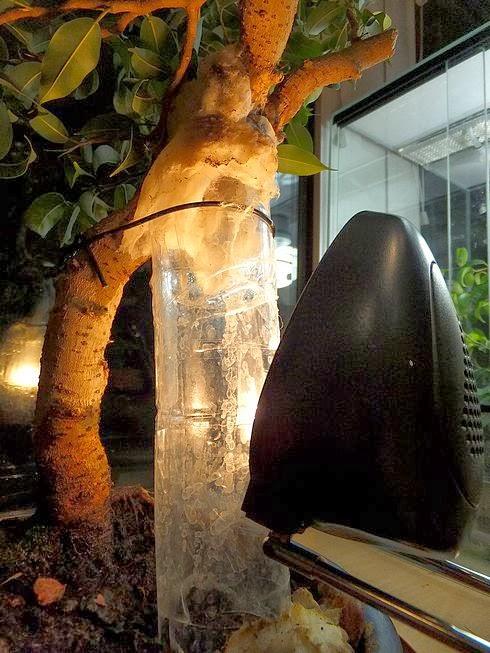 bonsai fikus korzenie powietrzne