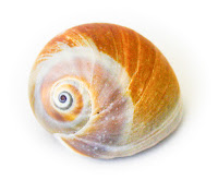 Larger, orange snail sea shell