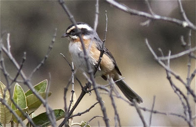 Plain tailed warbling finch