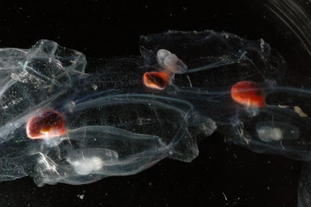 Southern Ocean Salp Salpa thompsoni