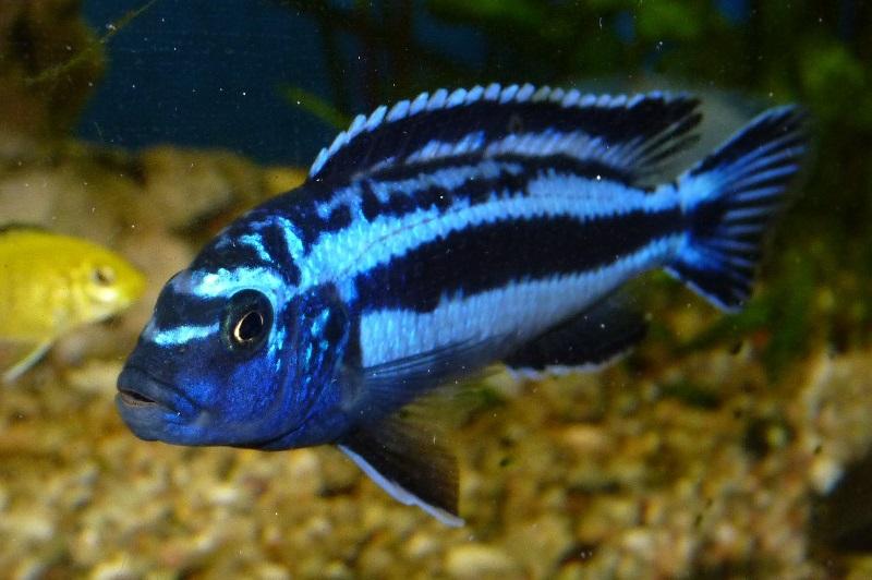 Gambar jenis jenis ikan cichlid ( Malawi Cichlids ) - Maingano ( Melanochromis cyaneorhabdos )