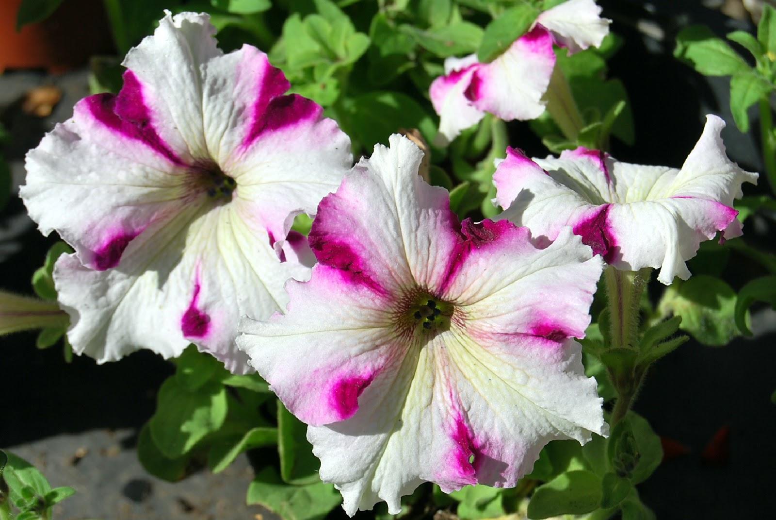 Fotos De Flores Petunias De Varios Colores
