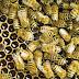 Απίστευτο συμβάν στην Κομοτηνή - Κοιμόταν ανυποψίαστος με 7.000 μέλισσες στο σπίτι του