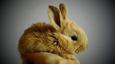brown rabbit hd resolution wallpaper