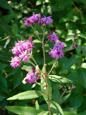 Vernonia noveboracensis New York Ironweed at the Toronto Botanical Garden by garden muses-not another Toronto gardening blog
