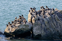 Cormorants in Bowman Bay