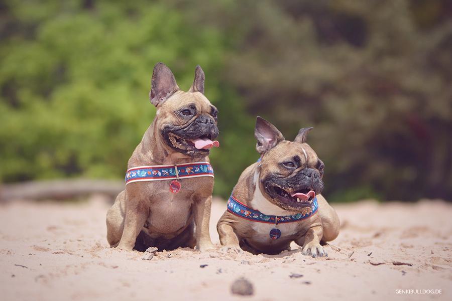 Hundeblog Genki Bulldog Dünen