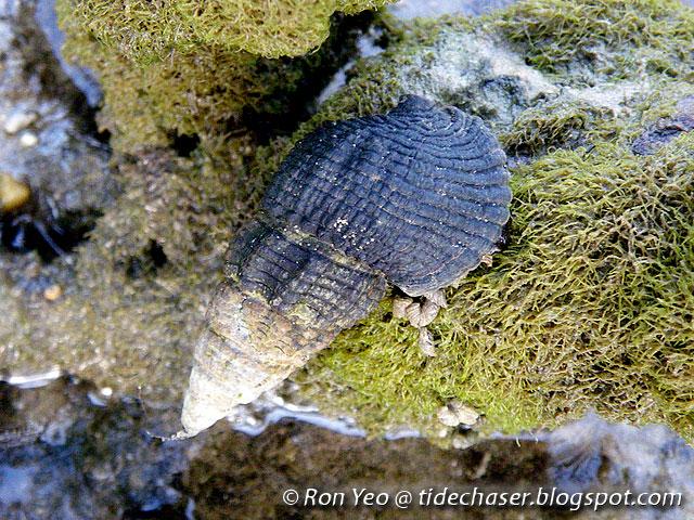 Siput Belitung
