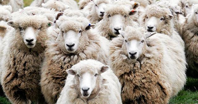 Δεν είμαστε πρόβατα…