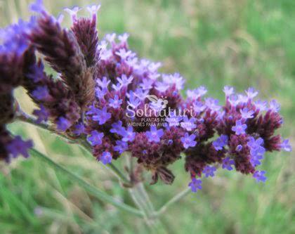 Verbena bonariensis  Verbena azul