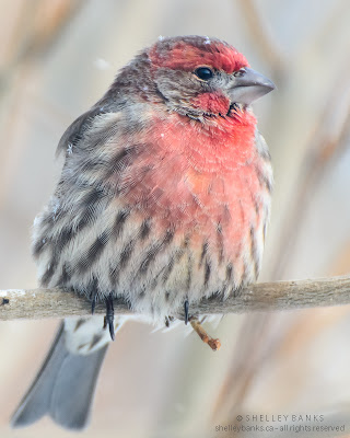 Male House Finch waiting for a spot at the bird feeder; photo © Shelley Banks; all rights reserved.