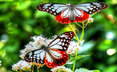 rama-rama, butterfly, cantik