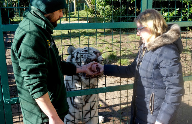 Feeding A White Tiger At Paradise Wildlife Park